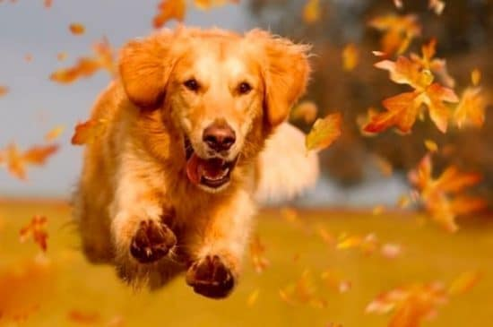 Dreamstime Golden Retriever springt door herfstbladeren